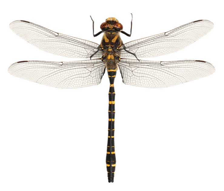 L-dragonfly_CLONED