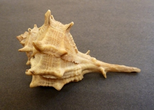 Spiny dye-murex (Bolinus brandaris)