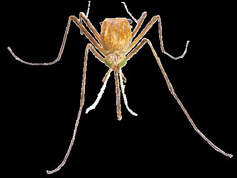 _mosquito_head_on