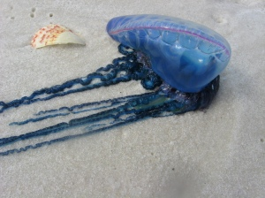 Physalia washed up on a beach