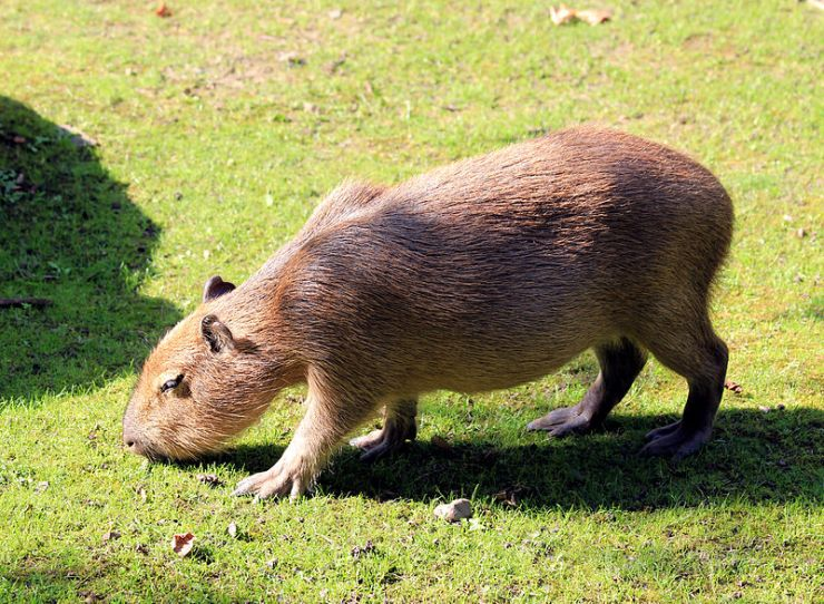 Just in case you don't know what a capybara is - here's one. It's the world's largest rodent and lives in South America.