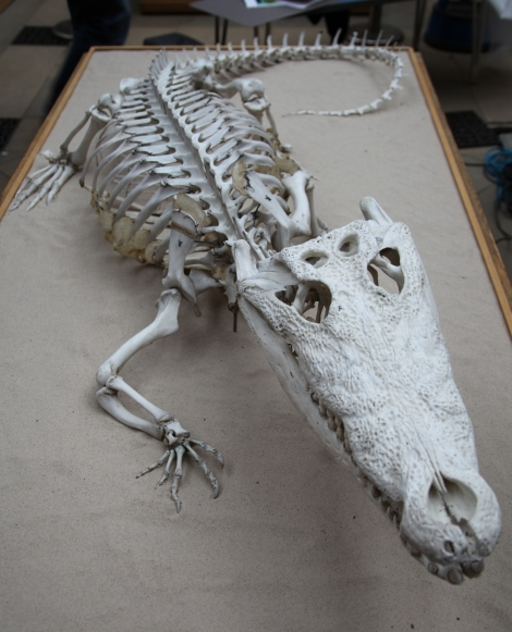 The crocodile skeleton complete with 'happier tail'