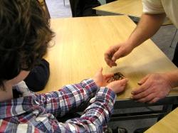 Handling a Chilean rose tarantula