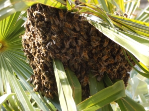 The swarm of bees gathered on a palm leaf
