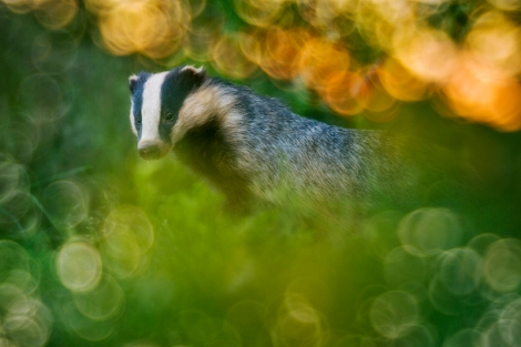 Badger dream scene Copyright: Marc Steichen