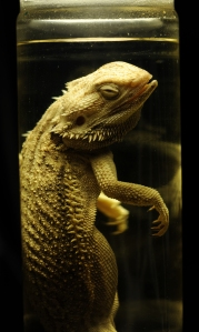 Bearded dragon. Image copyright: Rose Parkin