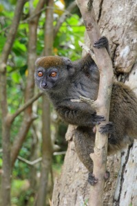 The 'Bandro', or Bamboo Lemur