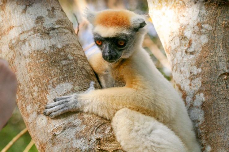 Golden Crowned Lemur