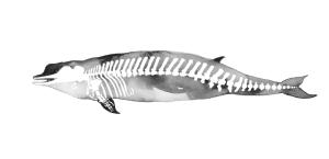Northern Bottle-nosed Whale (Hyperoodon ampullatus)