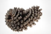 Michoacan Pine cone