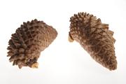 Narrowcone pine cone