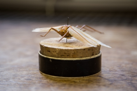 Bush cricket, family Tettigoniidae