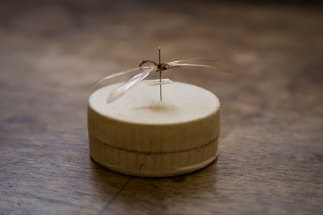 Ant lion, family Myrmeleontidae