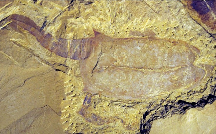 A  vetulicolian - a fossil which broadly speaking probably lies on the evolutionary lineage that leads to the vertebrates