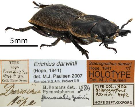 "Dorcus darwinii Hope, 1841 ""The above insect I have lately received from Chili. It is named in honour of Charles Darwin, Esq., who has greatly contributed to our acquaintance with the Entomology of Valparaiso, Chili, and other parts of the South American continent."" Hope, F.W. 1843. On some nondescript Lamellicorn Beetles Transactions of the Royal Entomological Society of London 3(4): 279–283."