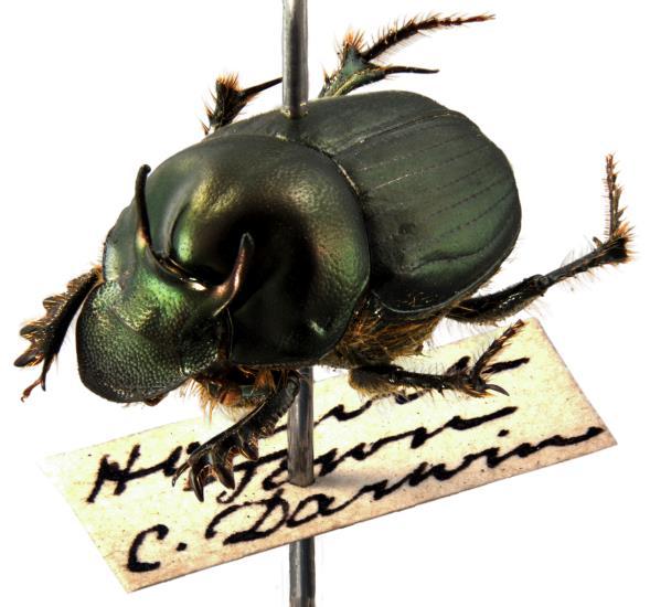Onthophagus australis