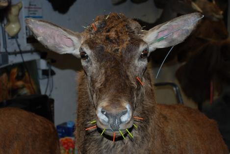 Deer25
