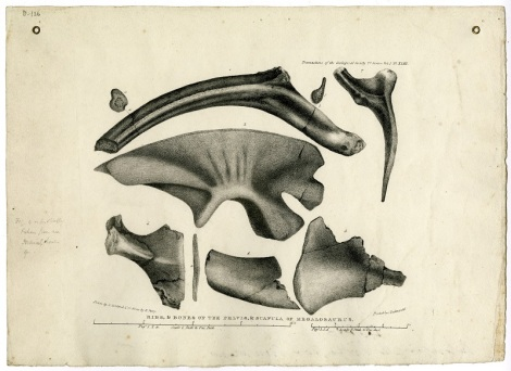 "These drawings, by William Buckland's wife Mary Morland, featured in Buckland's ""Notice on the Megalosaurus or great Fossil Lizard of Stonesfield"" in the Transactions of the Geological Society of London, Series 2, vol. 1, pp. 390-396."