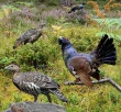 Capercaillie_from_the_Crossley_ID crop