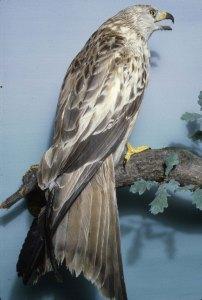 Red Kite Portinscale 1840