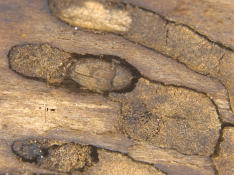 Bark_beetles1