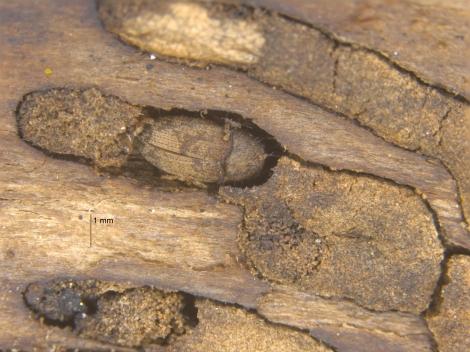 Bark_beetles1