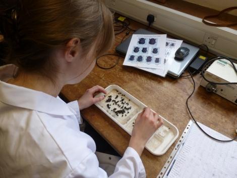 Maria sorting through a dung beetle sample