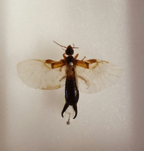 An earwig with wings unfolded