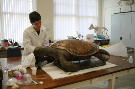 Abby working on the turtle in the conservation lab.