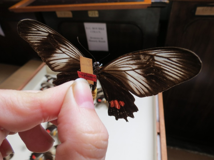 Hunting for Bates specimens. The labels with pink strips were part of Bates' collection.