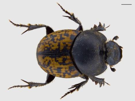 Onthophagus nuchicornis male