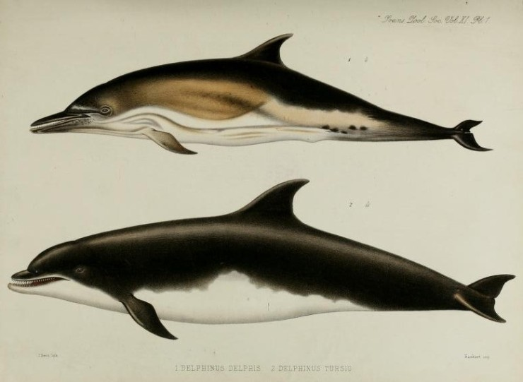 William Flower's drawing of the bottlenose dolphin (lower) the skeleton from this individual is on display in the museum Flower, W. H. (1880), I. On the External Characters of two Species of British Dolphins (Delphinus delphis, Linn., and Delphinus tursio, Fabr.). The Transactions of the Zoological Society of London, 11: 1–6. doi: 10.1111/j.1096-3642.1980.tb00343.xWilliam Flower's drawing of the bottlenose dolphin (lower) the skeleton from this individual is on display in the museum Flower, W. H. (1880), I. On the External Characters of two Species of British Dolphins (Delphinus delphis, Linn., and Delphinus tursio, Fabr.). The Transactions of the Zoological Society of London, 11: 1–6. doi: 10.1111/j.1096-3642.1980.tb00343.x