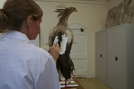 Ruth cleaning tail feathers