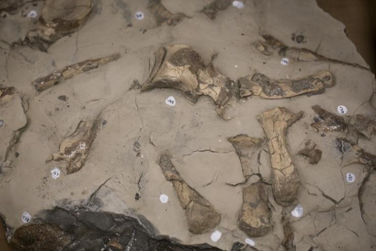 The plesiosaur's ribs and vertebrae still inside the rock