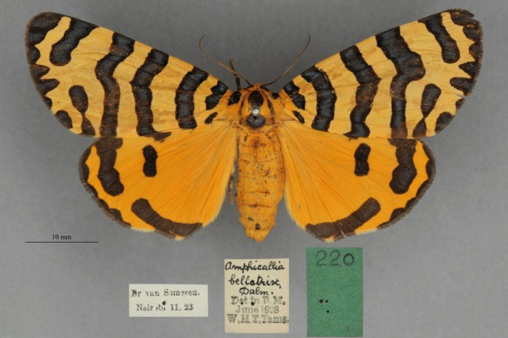 Amphicallia bellatrix displaying the striking warning colours which give it the name bellatrix meaning warlike, ferocious or warrioress.
