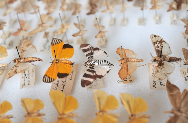 Trying to track down moth specimens is a great excuse to browse some of the beautiful moths in the Lepidoptera collections.