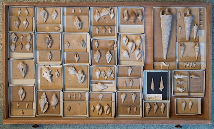 Drawer of Lyell gastropods