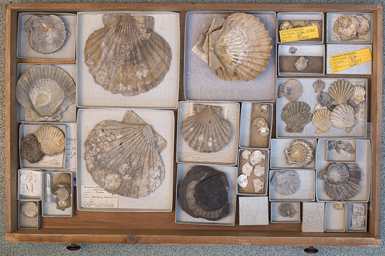 Image of drawer of pecten shells collected by Charles Lyell