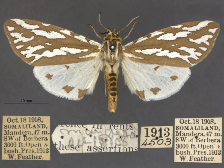 Paralacydes arborifera and its labels: one of several thousand moths which will eventually go on to the African Moths website. Arborifera translates from Latin as tree-beast or tree-creature.