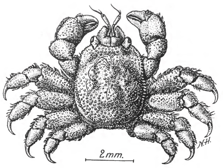 Gall crab illustration