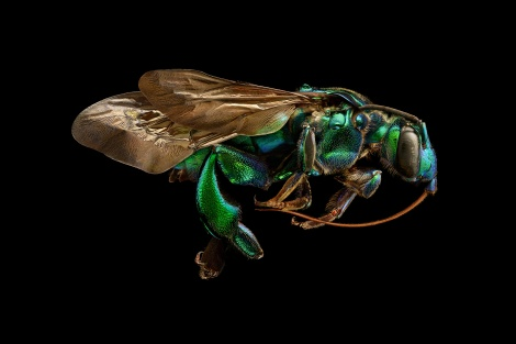 Orchid Cuckoo Bee (Exaerete frontalis) from Brazil. Length: 26 mm