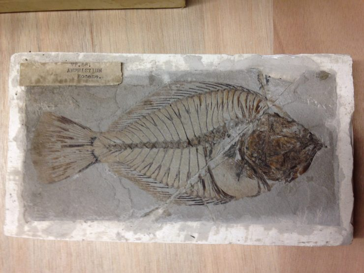 Amphistium fossil fish; an early relative of the flatfish and part of the Earth collection