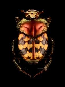 Splendid-necked Dung Beetle (Helictopleurus splendidicollis). From Madagascar. Length: 10 mm