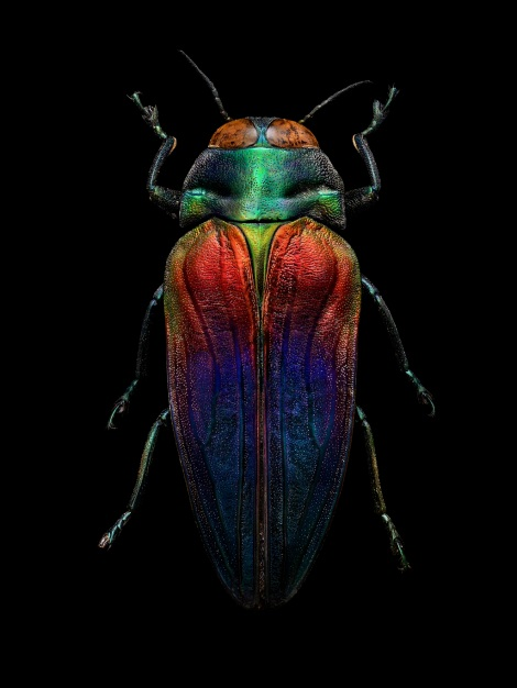 Tricolored Jewel Beetle (Belionota sumptuosa), collected by Alfred Russel Wallace in Seram Island, Indonesia. Length: 25 mm