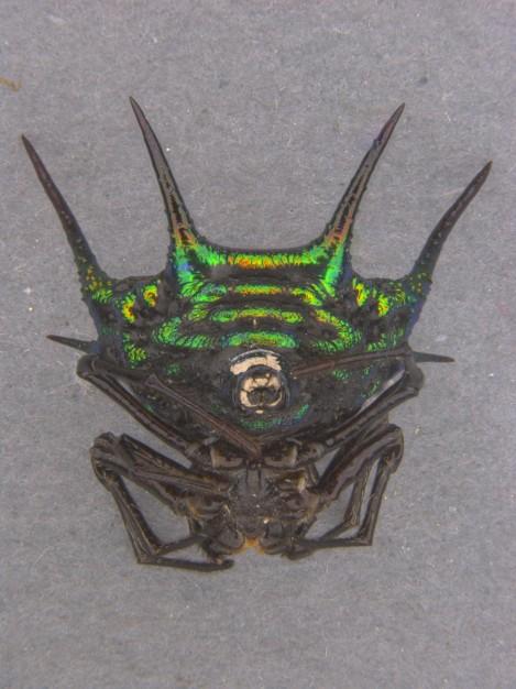 Metallic Thorn Spider (Gasteracantha scintillans)