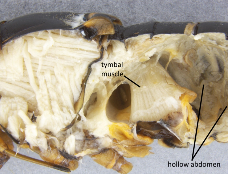 Lateral view of a dissected cicada, Tibicen plebejus. The huge muscle attaches to the tymbal memembrane, and pulls it inwards to generate a loud click. Note that after the large muscle, the abdomen is largely hollow.