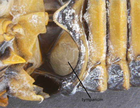 Ventral view of a dissected cicada, Tibicen plebejus. The large aperture is the tympanum, which acts as the amplifier for the cicadas' song. The hole of an empty bottle behaves in the same way when you blow air over it.