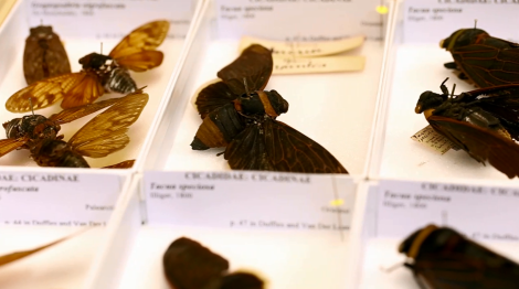 Tropical cicadas from the Museums' collections