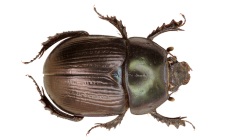 Dor Beetle – Geotrupes mutator