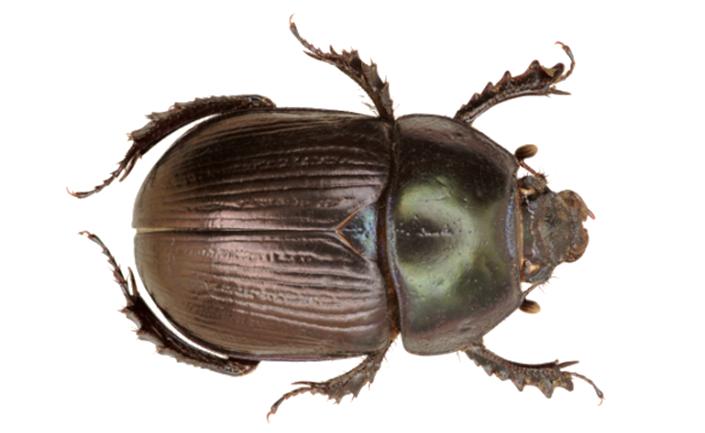 Dor Beetle – Geotrupes mutator